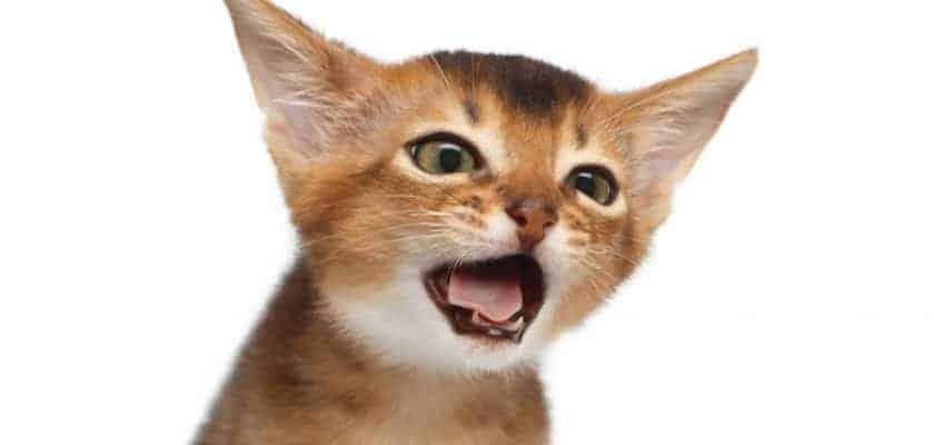 Öksüren kedi