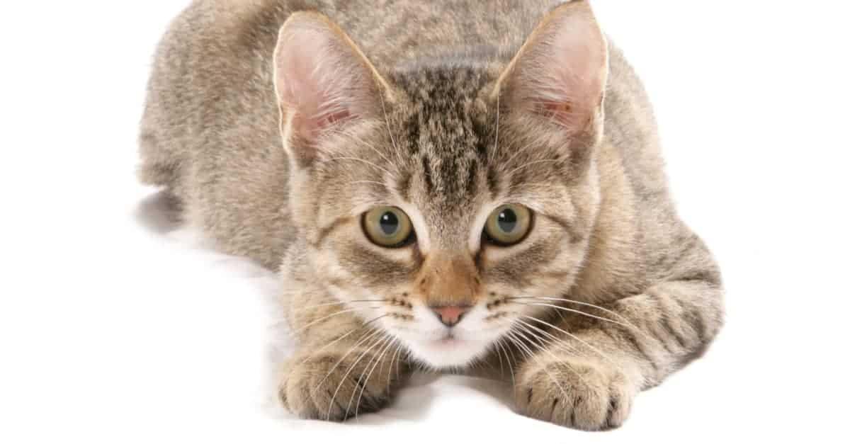 polidaktil kedi