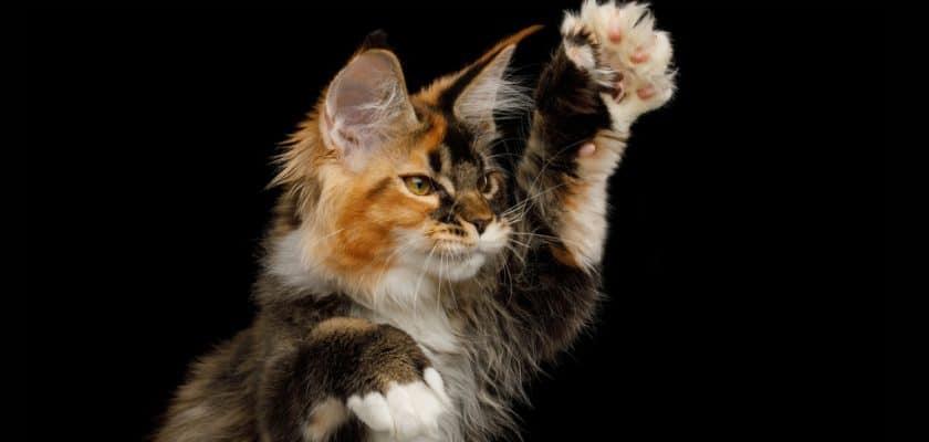 Polidaktil kediler