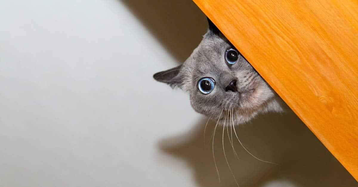 Saklanan kedi