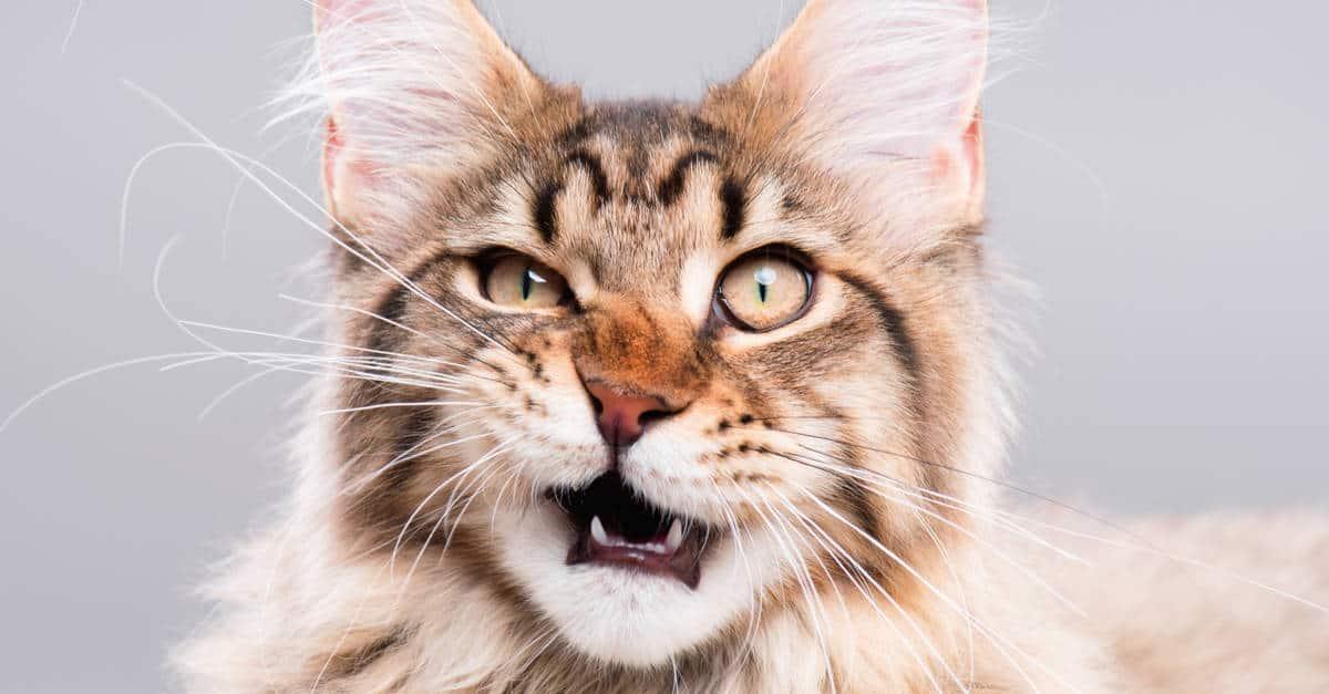 Sinirli bakan kedi