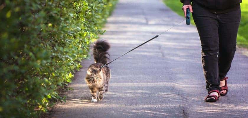 Tasma İle Kedi Gezdirmek
