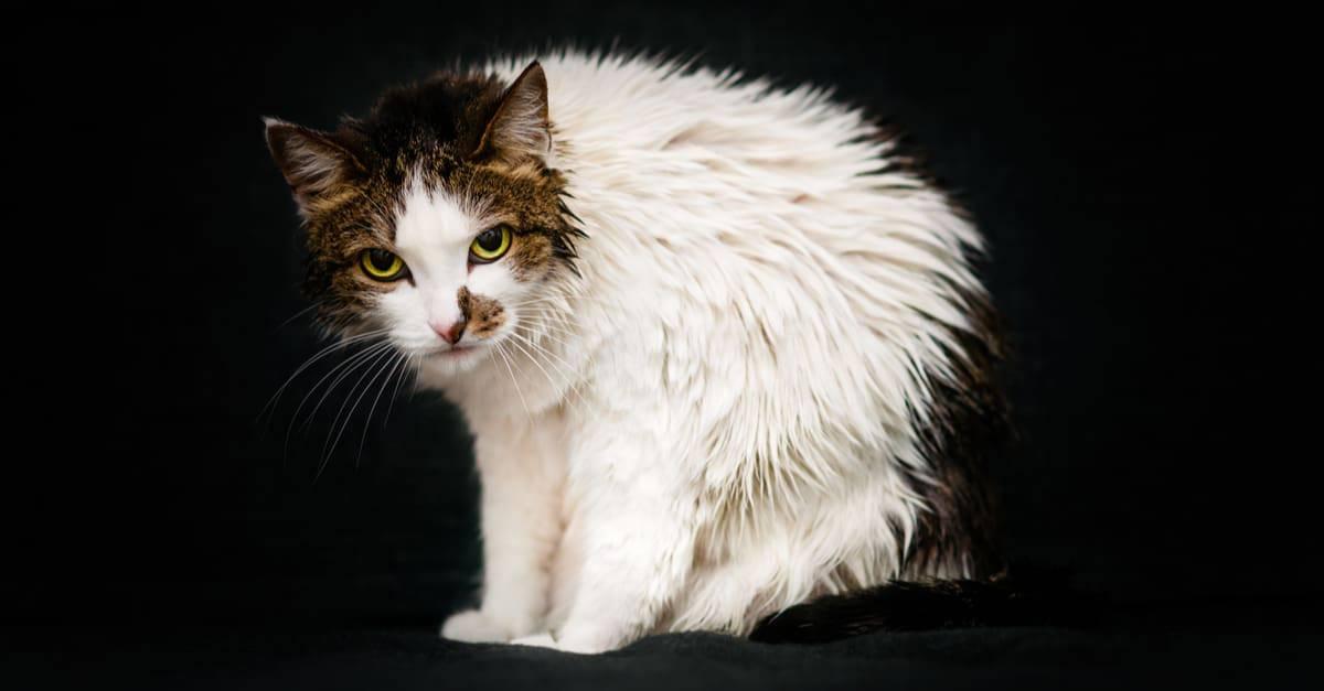 Titreyen kedi