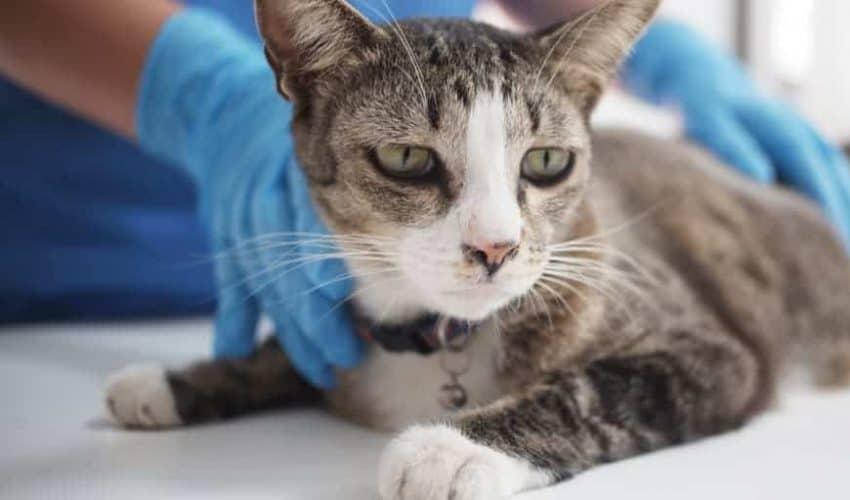 Kedilerde kısırlaştırma nasıl yapılır? Bakım öncesi öneriler!