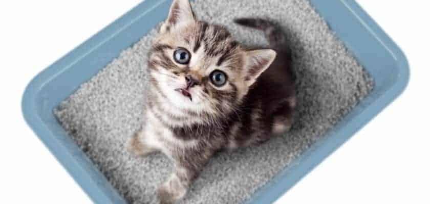 yavru kediler için kedi kumu