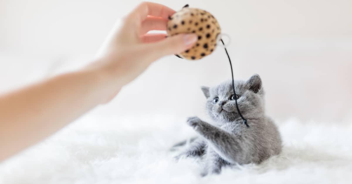 Yavru kedilerle nasıl oynanır