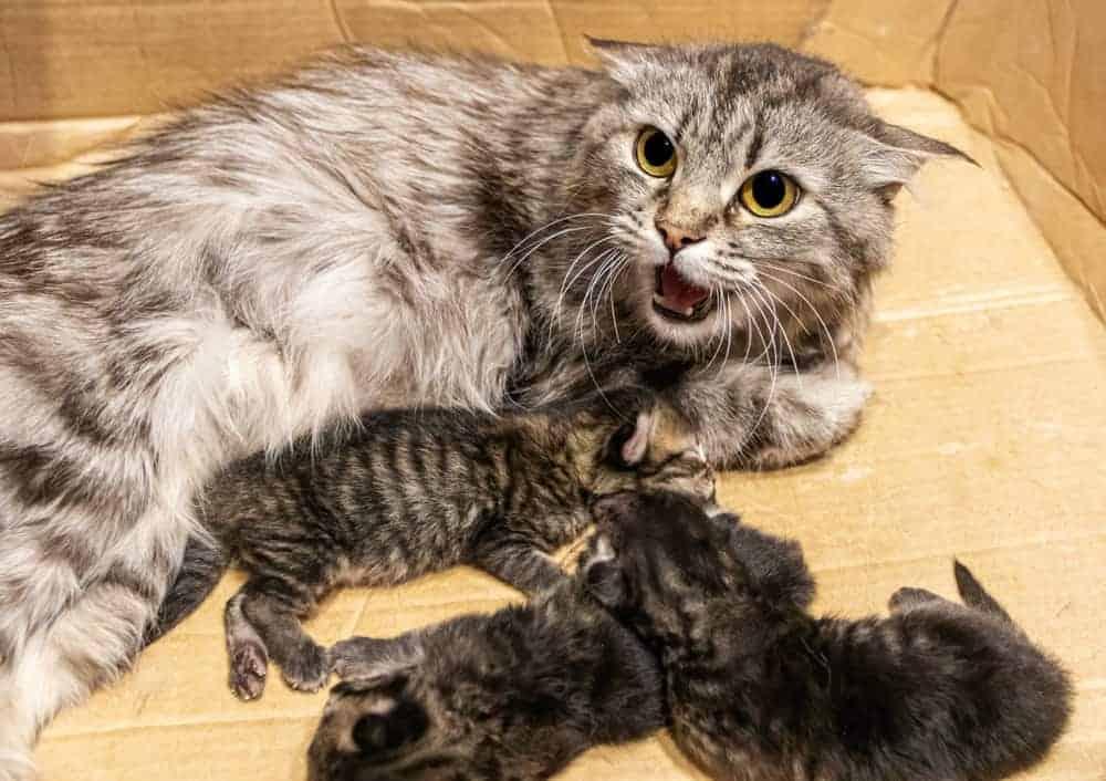 Yeni Doğum Yapmış Anne Kedi Saldırganlığı