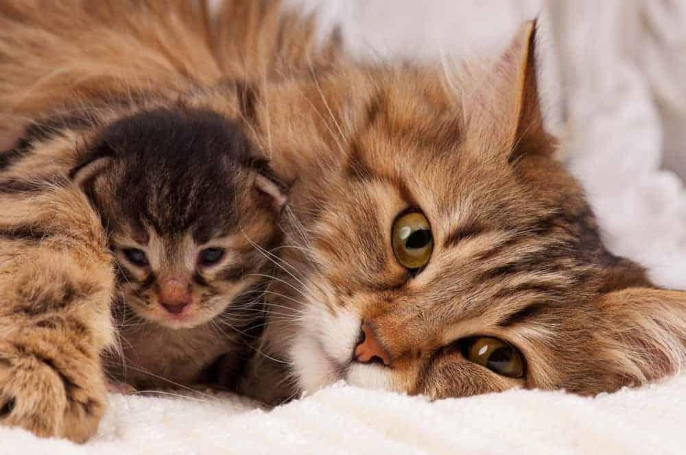 Yeni Doğum Yapmış Kedilere Nasıl Yaklaşılır?