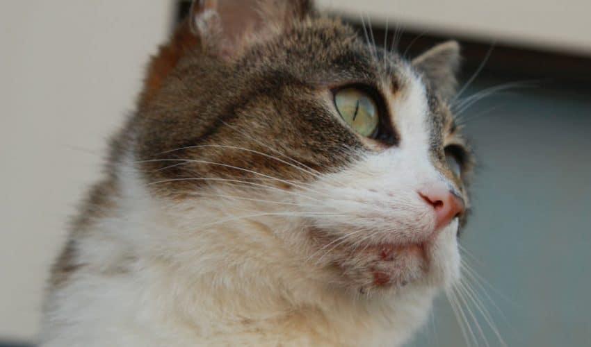 Kedi Aknesi: Belirtileri, Nedenleri ve Tedavisi