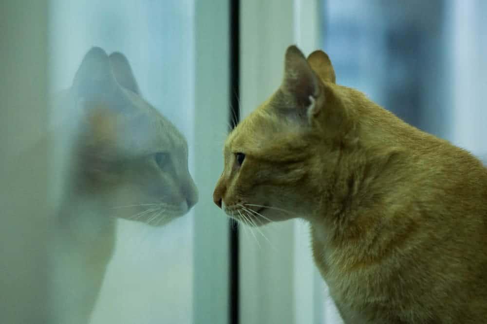 Aynada Kendini Gören Kedi