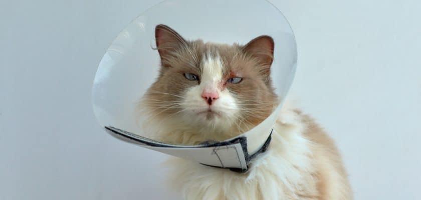 Cilt alerjisi olan kedi