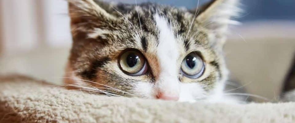 Kedilerde körlüğe neden olabilecek göz hastalıkları hangileridir?