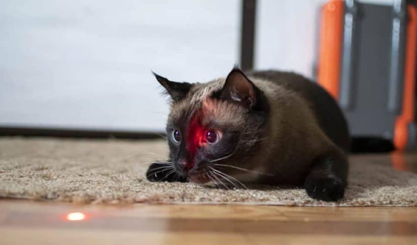 Kediler lazer ışığını neden takip eder?