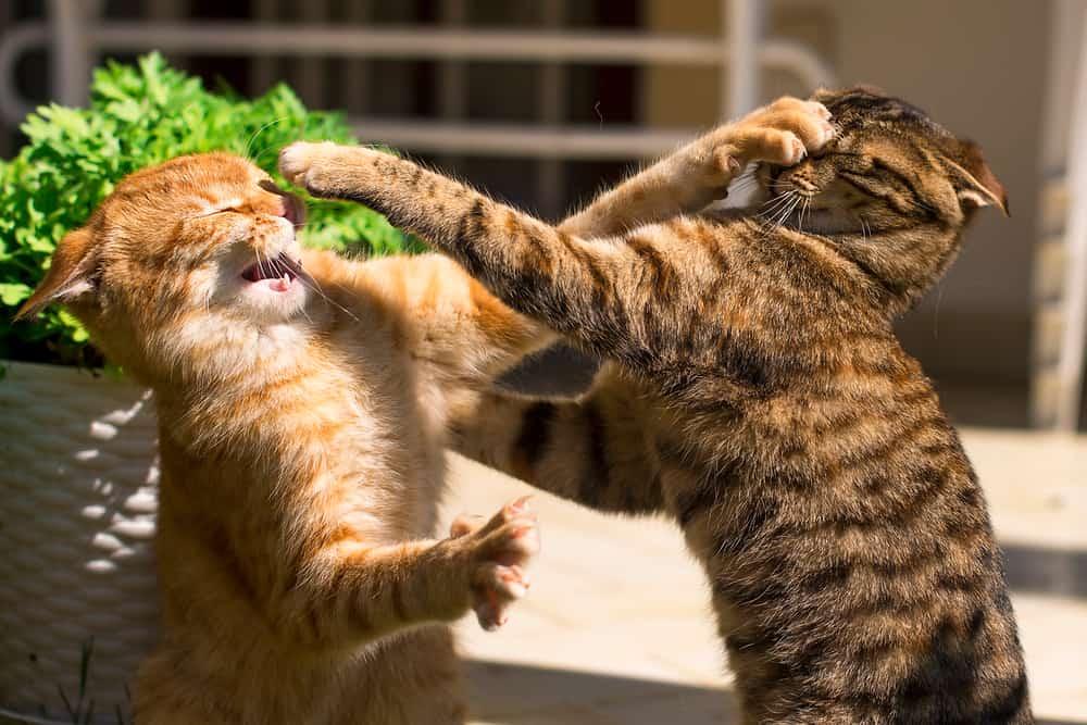 Kedilerde Saldırganlık ve Önleme