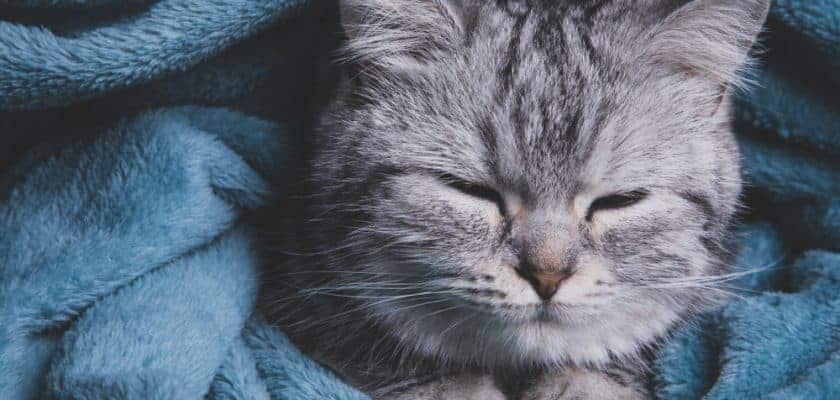 mavi battaniyeli kedi