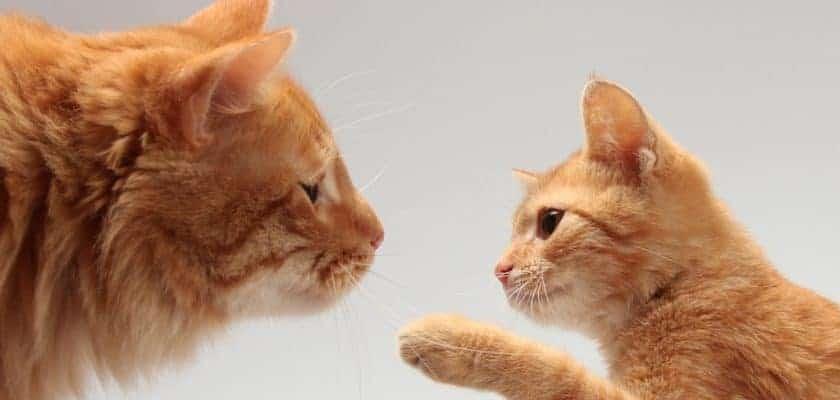 sarı yetişkin kedi sarı yavru kedi