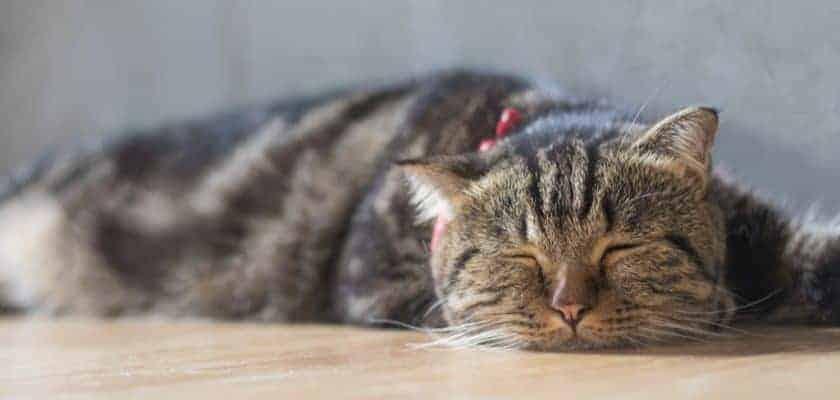 yatan kedi