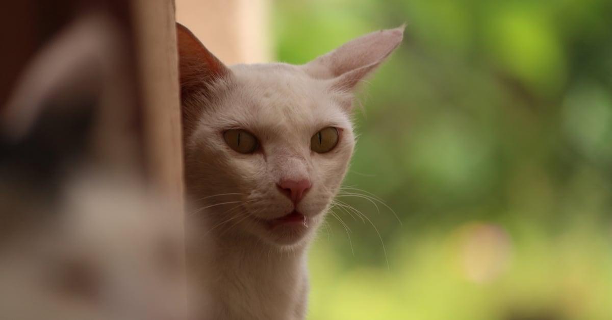 Serrade Petit kedisi