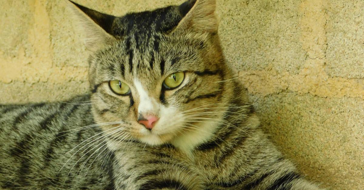 bramble kedisi