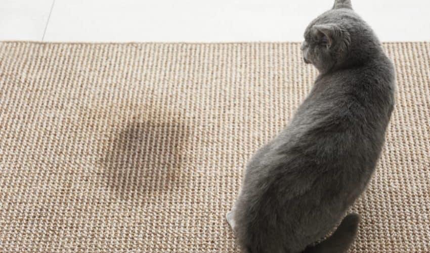 Kedilerin idrar kokusu hangi hastalığın belirtisidir?