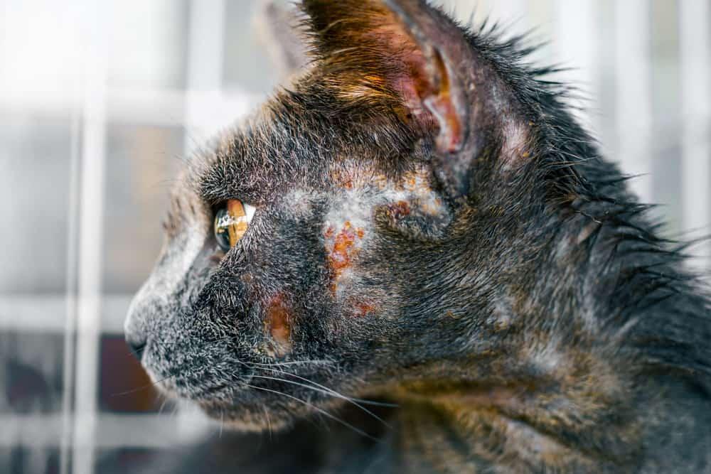 kedilerde dermatit