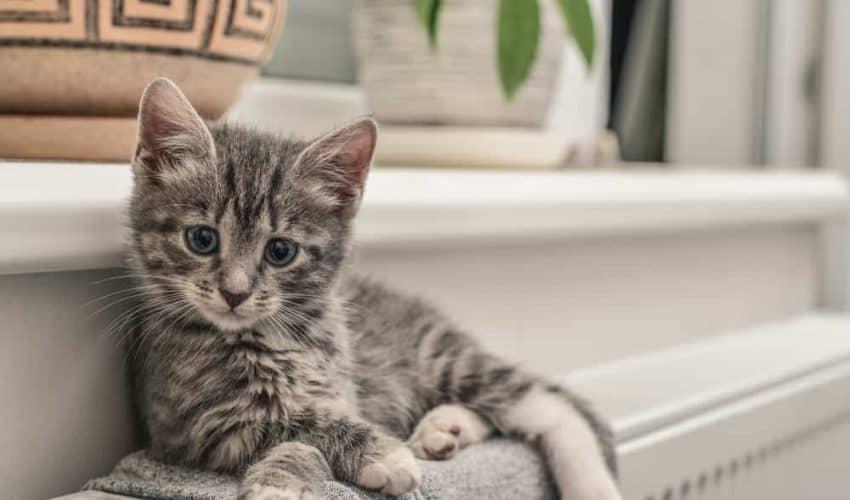 Kedilerdegastroenterit– Belirtileri ve tedavi yöntemleri