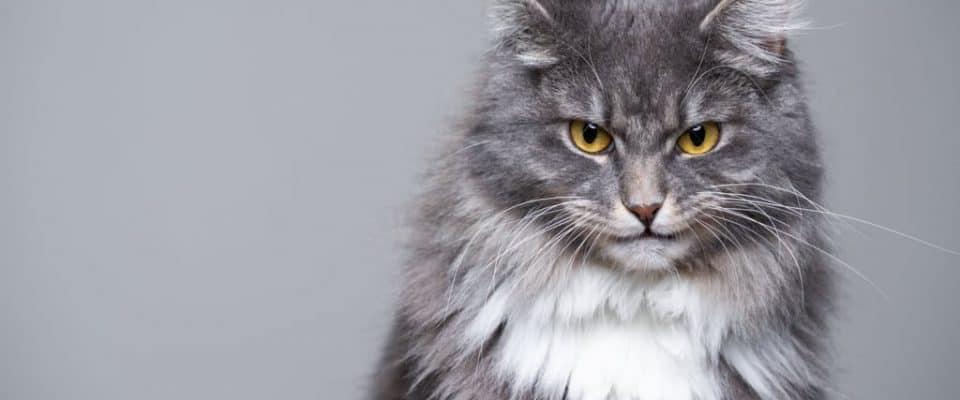 Yaşlı kedilerde sinirlilik ile nasıl başa çıkılır?