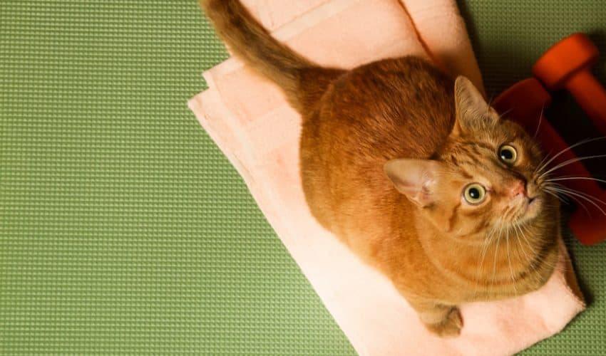 Kedilerin kilo çizelgesi – Kedi kaç kilo olmalı?