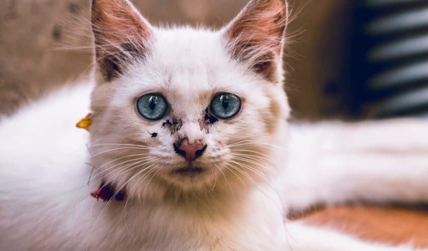 Kedilerde burun kuruluğunun nedeni nasıl teşhis edilir?