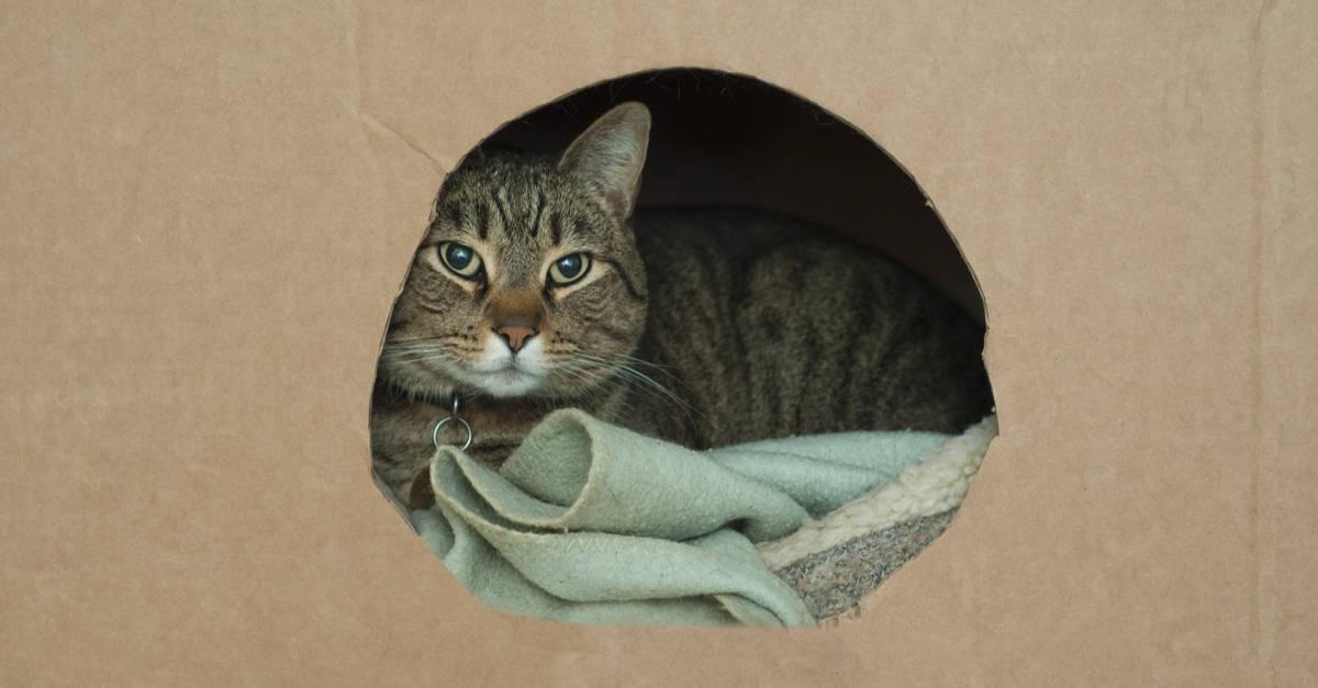 karton içine yuvalamış kedi