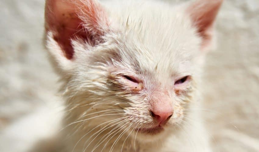 Kedilerde konjonktivit belirtileri ve tedavisi