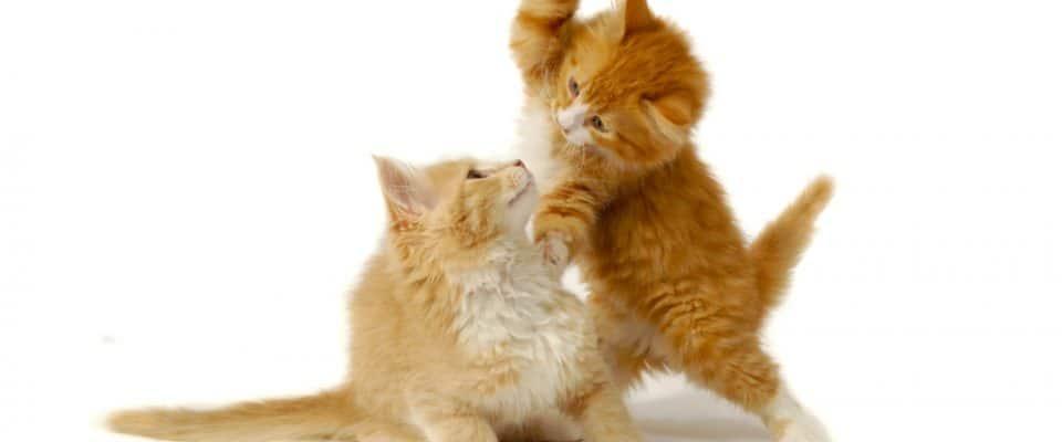 Kedilerim oynuyor mu yoksa dövüşüyor mu?