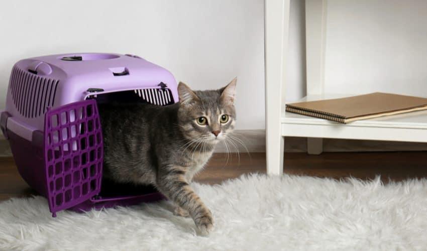 Kedinizi taşıyıcıya nasıl yerleştirirsiniz?