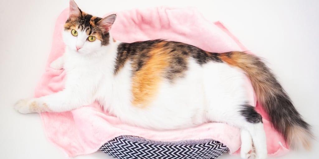 yatağında yatan hamile kedi