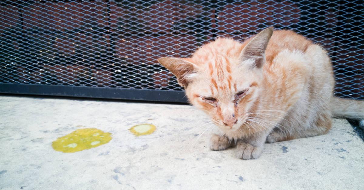 kedilerde sarı sıvı kusma bulaşıcı mıdır
