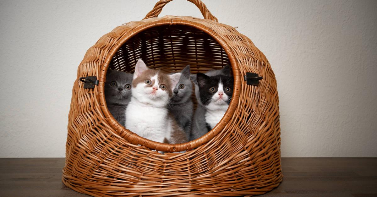 Sepetteki yavru kediler