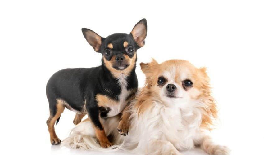 Chihuahua (Çivava)