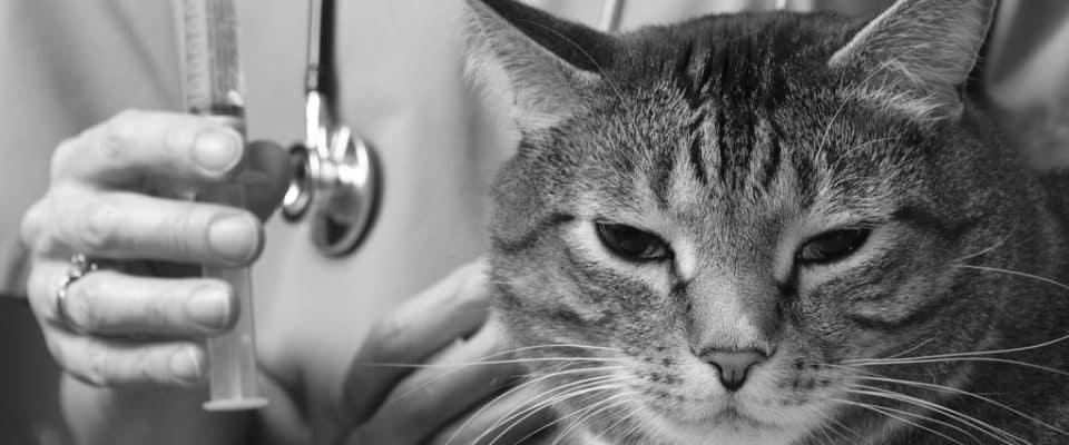 Kedilerde karaciğer hastalığı: Nedenleri, belirtileri